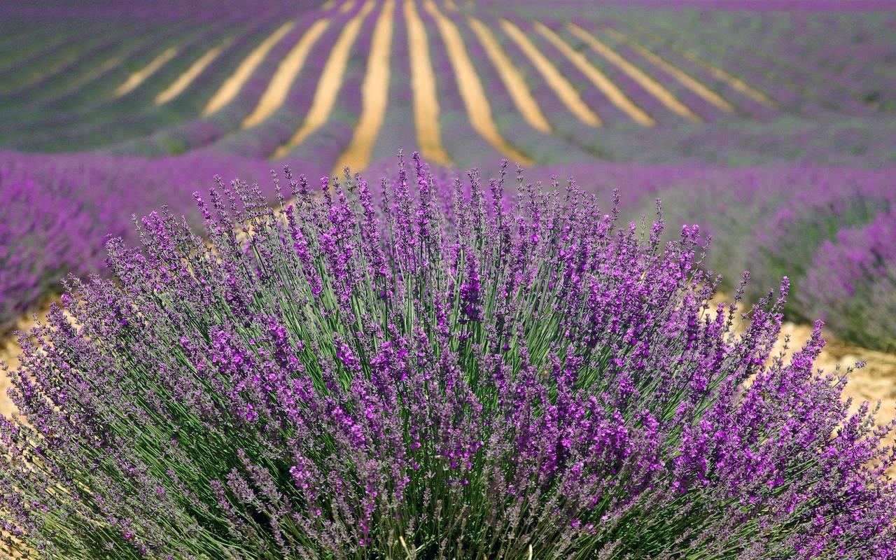 Lavender fields, spa hotel in Provence, Le Vallon de Valrugues & Spa.